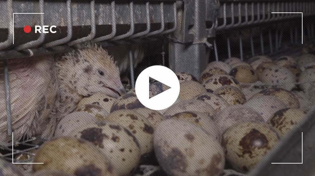 Nouvelles images d'un élevage de cailles