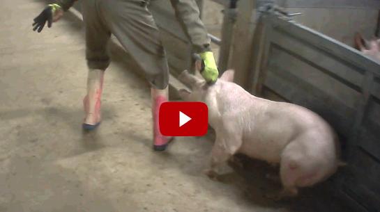 cruauté à l'abattoir de Tielt en Belgique