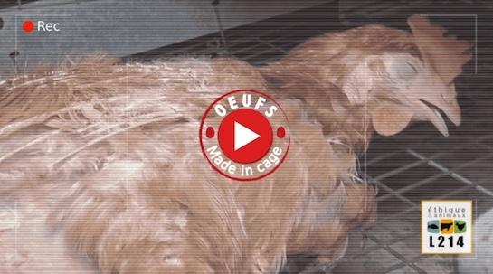 Elevage de poules catastrophique, le groupe Panzani mis en cause