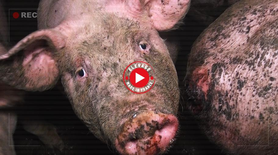 Elevage de cochons dans le Tarn