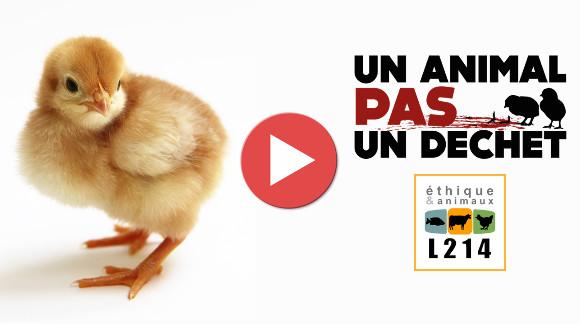 Vidéo de présentation de L214, éthique et animaux