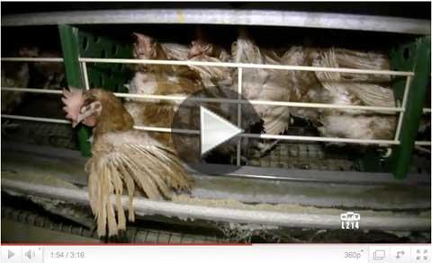 http://www.l214.com/video/poules-pondeuses-2010