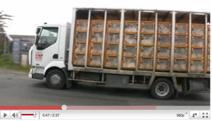 transport sur le transport des chevreaux