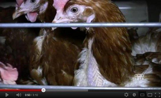 Vidéo d'enquête dans 4 élevages de poules pondeuses en batterie, février 2012