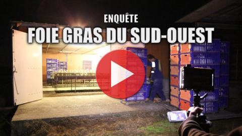 Vidéo d'enquête en salles de gavage du Sud-Ouest