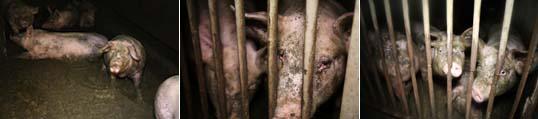 Plaintes contre un élevage de cochons en Haute Savoie Banniere-Seyssel