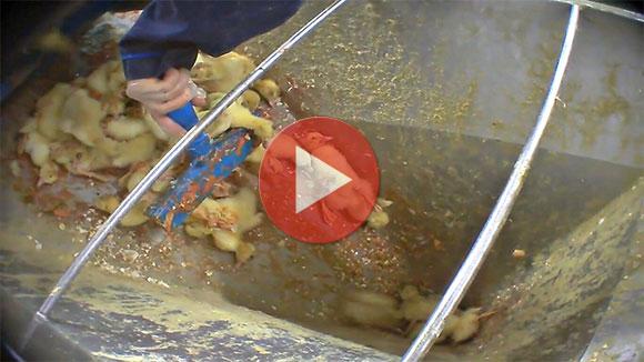 enquête foie gras couvoir canetons broyés