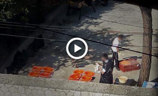 Vidéo sacrifice poulets pour Kapparot