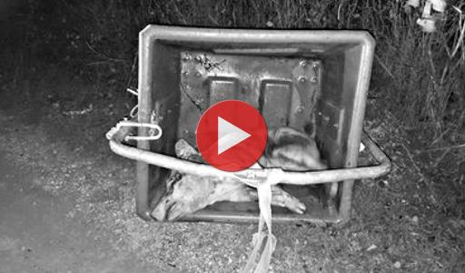Vidéo cochon dans une poubelle