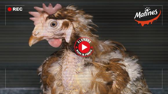 Élevage de poules Matines