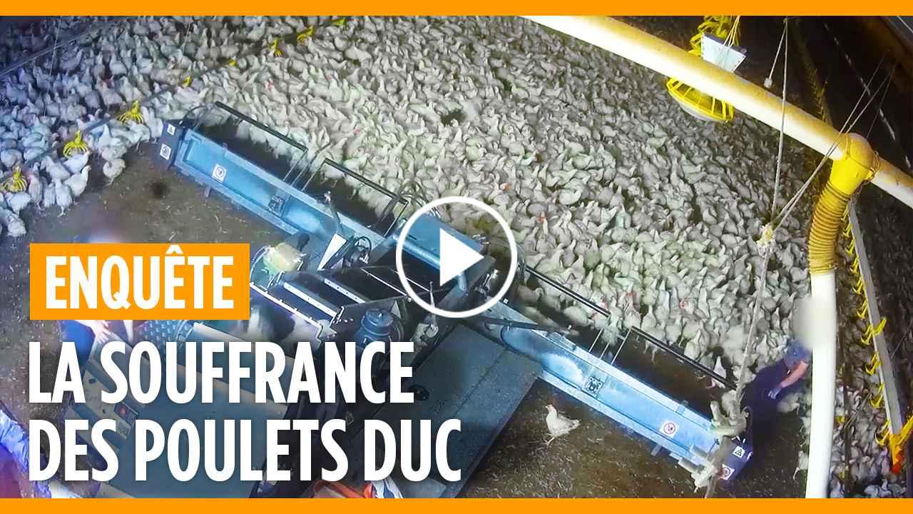 couverture vidéo poulets DUC