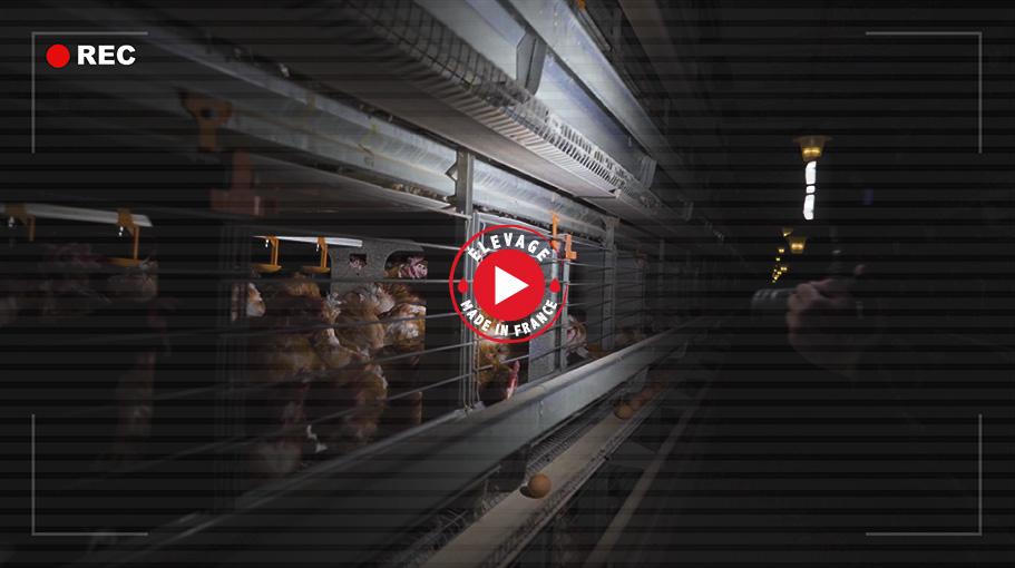 Vidéo Elevage poules pondeuses en cage- groupe Avril