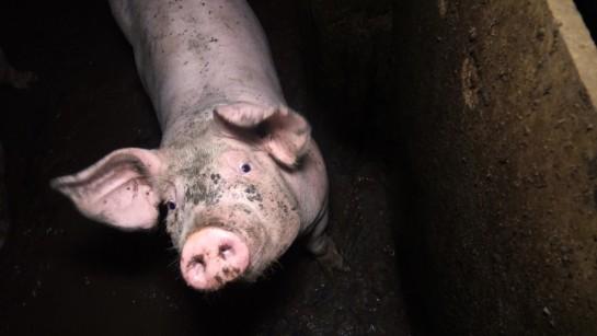 L'élevage des cochons en France