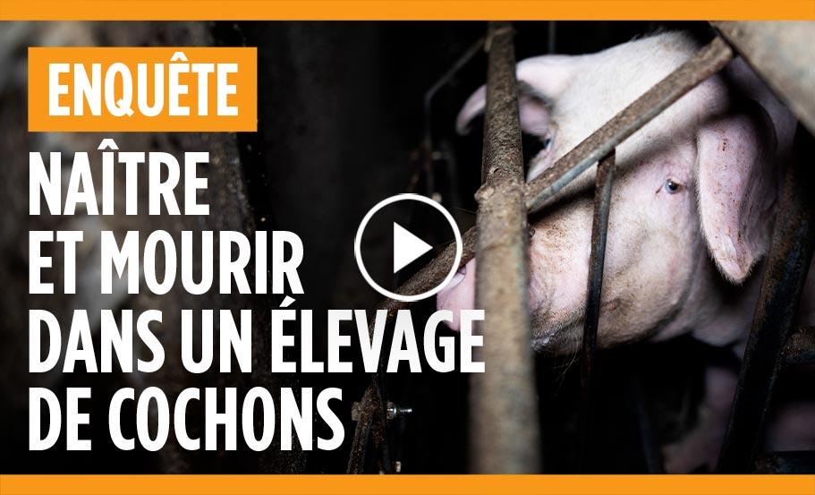 enquête dans un élevage de cochons du Finistère