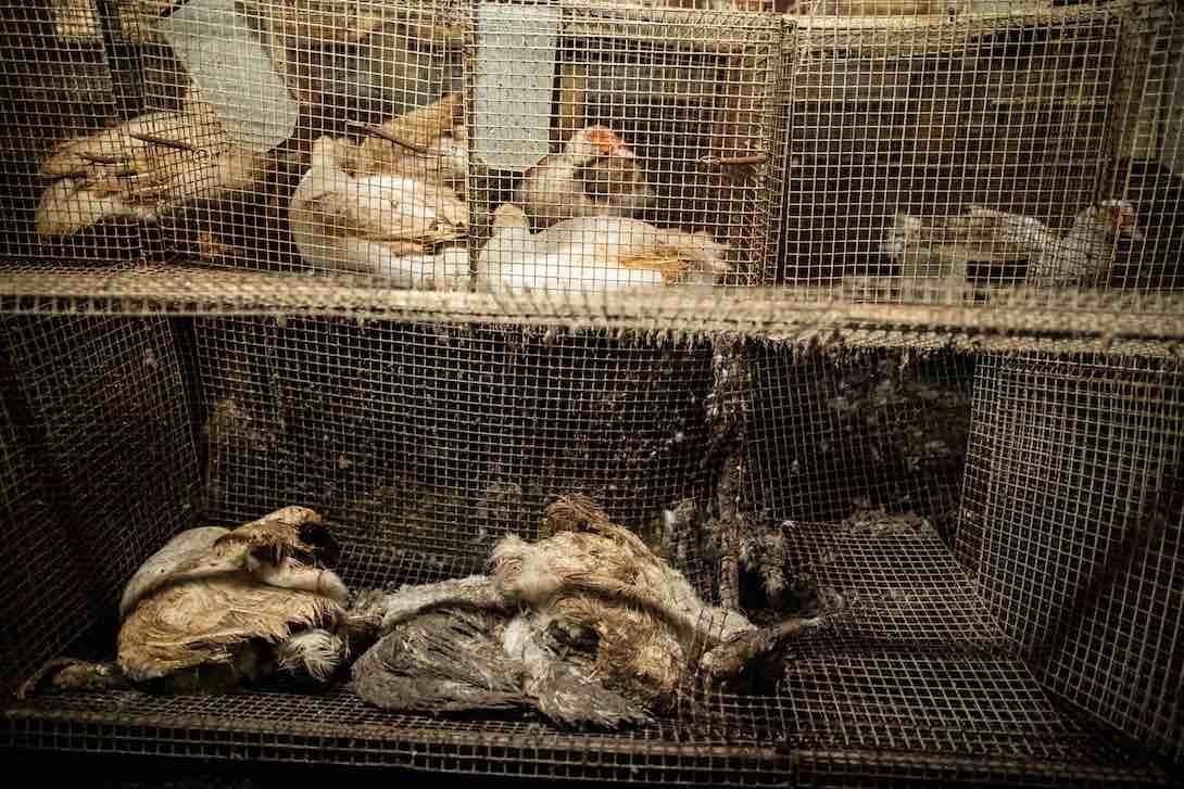 Horreur dans un élevage de canards reproducteurs pour le foie gras