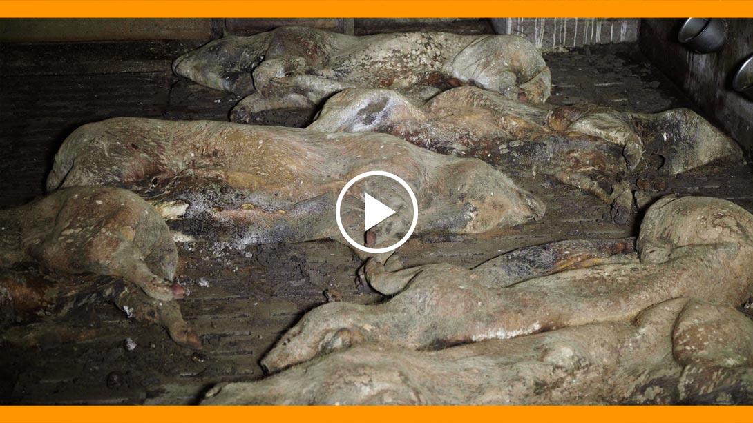 Elevage de cochons des Côtes-d'Armor