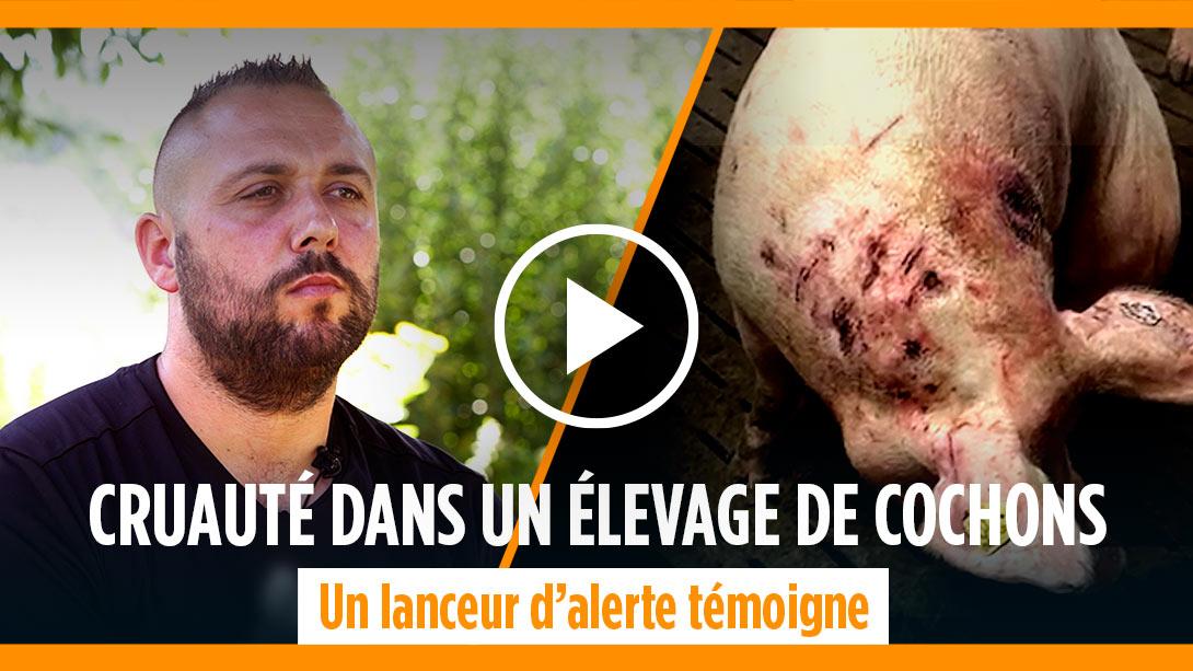 Cruauté dans un élevage de cochons dans l'Yonne, un lanceur d'alerte témoigne<br />