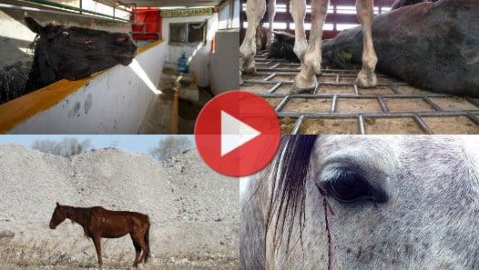Le calvaire des chevaux en Amérique