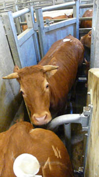 Abattoir bovin