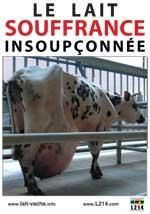 Photo d'une vache laitière au corps difforme