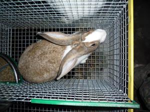 lapins élevés en cage