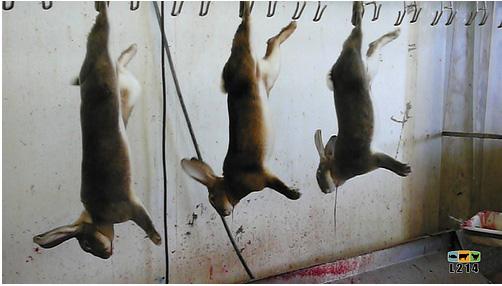 abattoir lapins élevés en cage