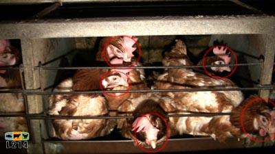 5 poules dans une cage