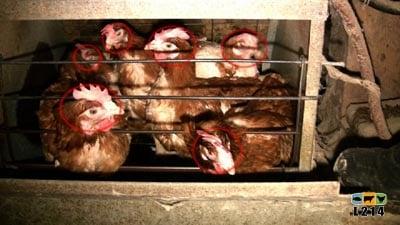 6 poules dans une cage