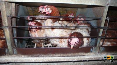7 poules dans une cage