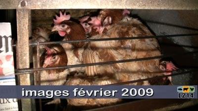 images poules février 2009