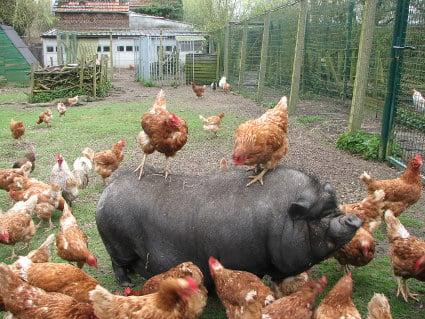 Recueillir des poules pondeuses thique et animaux - Poule pondeuse a donner ...