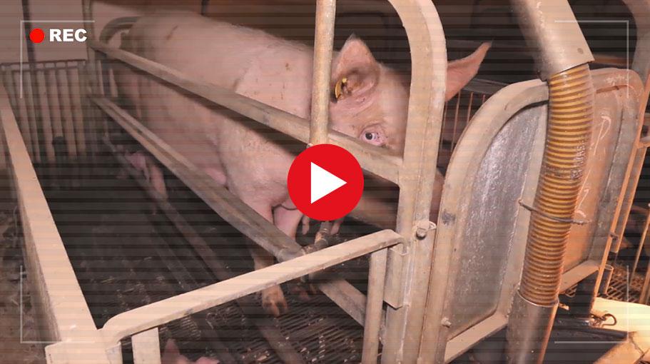 Voir la vidéo d'enquête sur les cochons