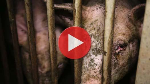 Vidéo de la porcherie de Seyssel