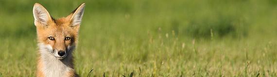renard, animal sensible