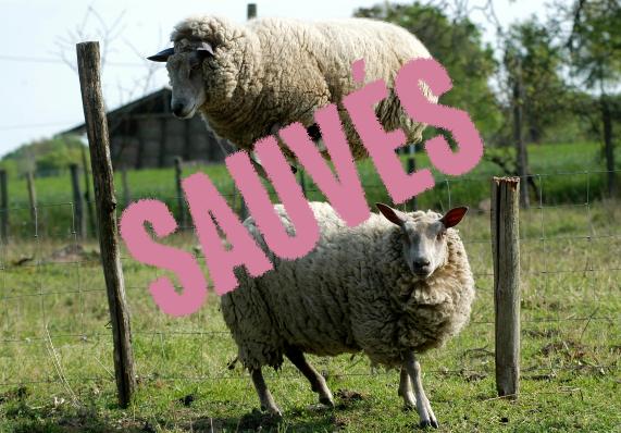Les moutons du Domaine des Douages