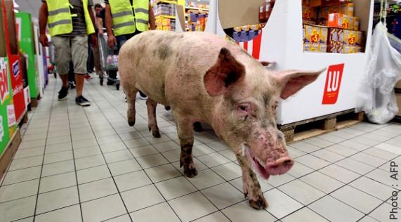 Cochon traîné jusque dans un supermarché