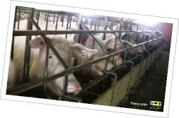 Image L214 de cochons en stalles