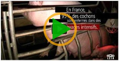 Vidéo cochon