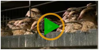 Vidéo sur l'élevage des cailles