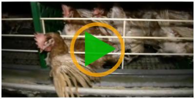 Vidéo sur les poules pondeuses