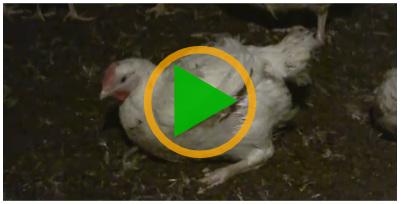 Vidéo sur les poulets de chair