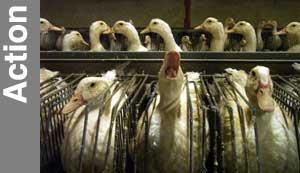 cage gavage foie gras