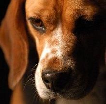 Photo : chien beagle