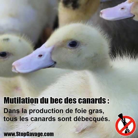 Explication sur le foie gras Canards-debecques