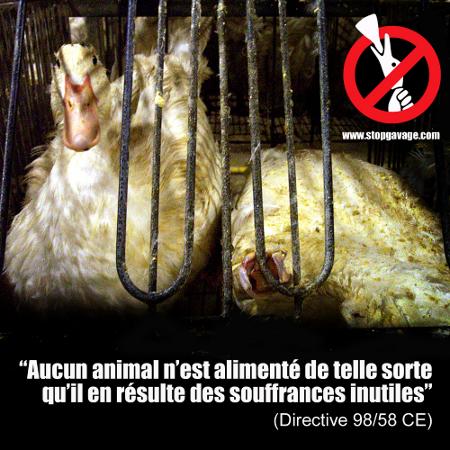 Explication sur le foie gras Gavage-directive-450px