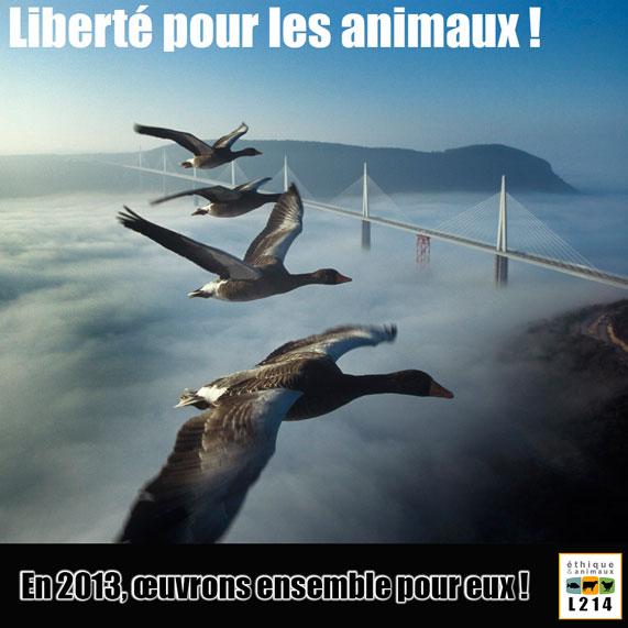 Explication sur le foie gras Moullec-oies-millau-571