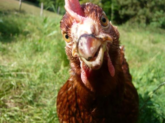 Poulette heureuse