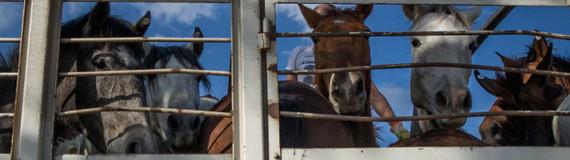 transport de chevaux en Argentine