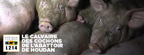 le calvaire des cochons de l'abattoir de Houdan