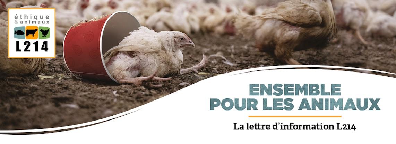 Nouvelle enquête sur l'élevage des poulets